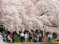 در کدام شهرها شکوفه های گیلاس ببینیم؟